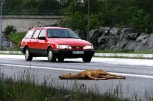 bil som kör förbi ett överkört rådjur